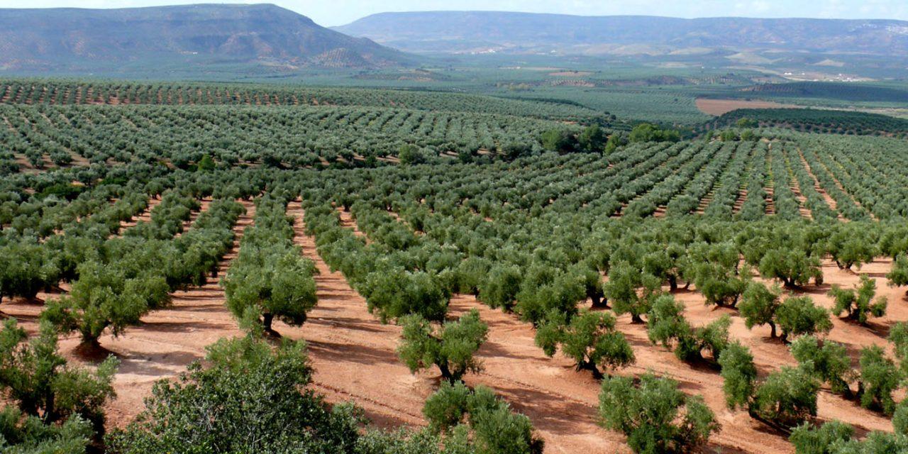 """Sánchez Haro resalta el """"firme respaldo"""" de la Junta al sector del olivar por su enorme importancia económica y social"""